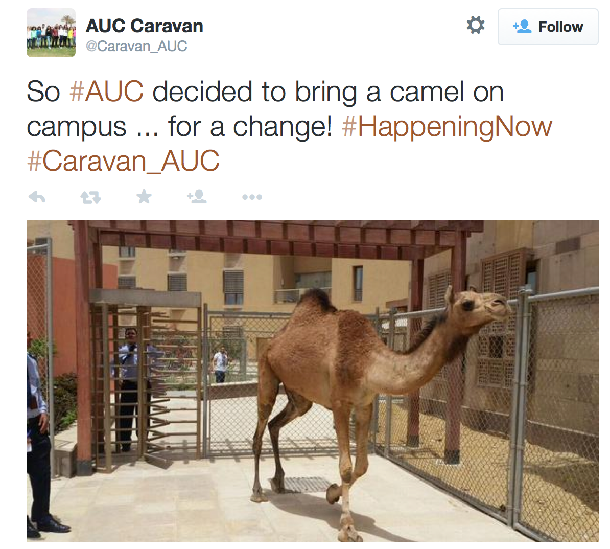 Camel at AUC